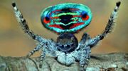 Peacock spider!